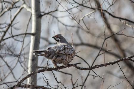 albero nocciolo: Maschio francolino di monte, seduto su un albero tra i rami