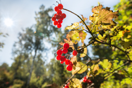 guelderrose: Guelder-rose berries in the autumn wood lit with the sun