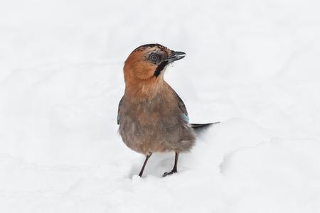 Jay (Garrulus glandarius)  sitting on the white snow