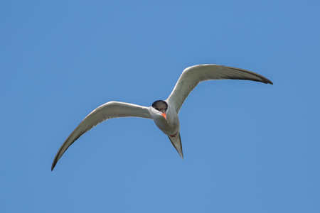 Tern in flight against the blue sky Stock Photo