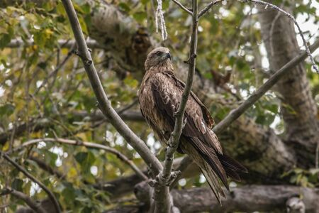 A black kite sits on a dry branch of a tree Stock Photo