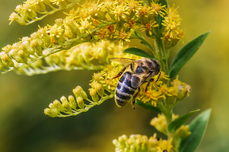 The bee collects honey on yellow mimosa flowers