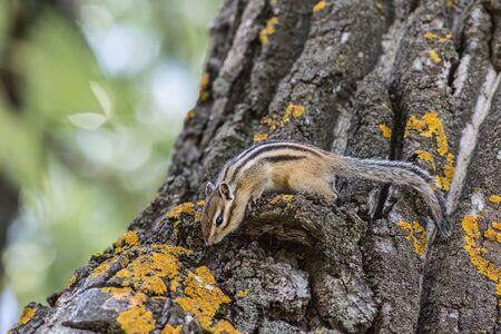 Chipmunk in their natural habitat Stock Photo