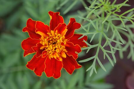 red marigolds (Tagetes) with yellow stamens