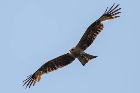 Black kite flying in the blue sky