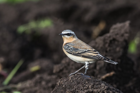 A Wheatear, (Oenanthe oenanthe),  sits on the earth