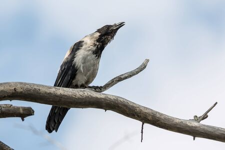 The gray crow sits on a tree Stock Photo