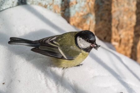 Great tit found a sunflower seed in winter Banco de Imagens