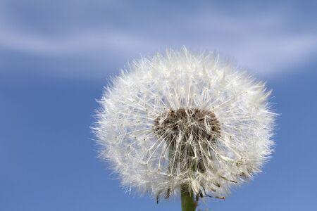 Dandelion against a blue sky closeup