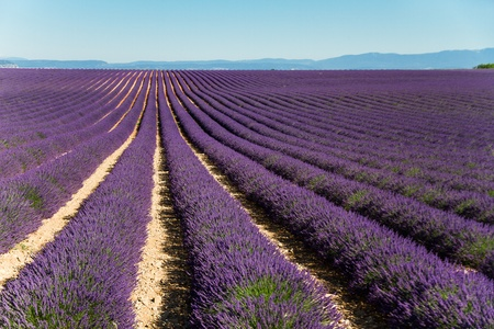 Lavender field. Stock Photo - 10179212