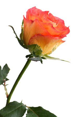 Yellow orange rose Stock Photo