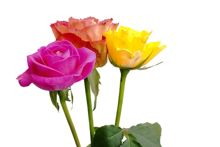 Three coloured roses on a white background Stock Photo