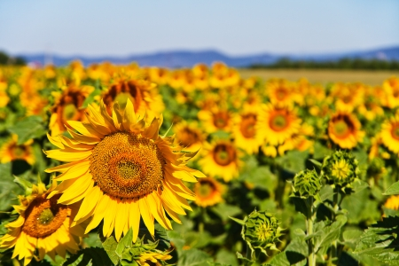 Beautiful field of sunflowers in Provence