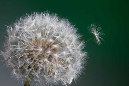 Dandelion with a single seed popping up Stock Photo