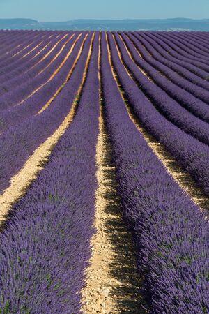 Beautiful lines of lavenders