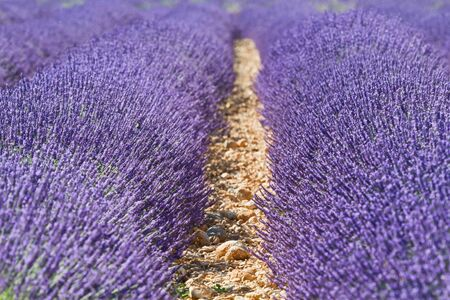 Closeup of rows of lavender  Stock Photo