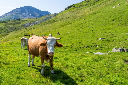 Motley brown and white cow in the Alps looking at the viewer