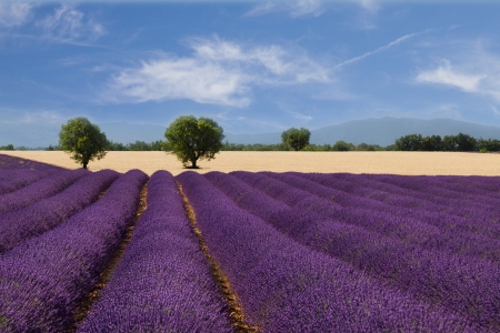 French landscape with a beautiful lavender field photo