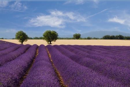 fiori di lavanda: Paesaggio francese con un bellissimo campo di lavanda
