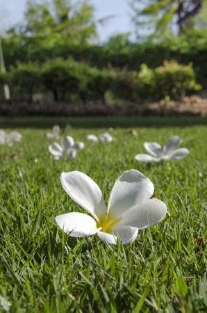 gramineas: Un flores blancas en el campo de hierba Foto de archivo