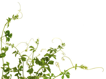 A climber plant for document back ground Stock Photo
