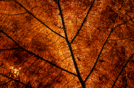 Pattern of dead leaf when the light come behind on it photo