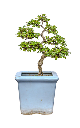 ceremic: A little bansai tree in cracked ceremic tree pot Stock Photo