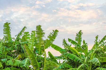 Banana trees which have pink, violet, blue sweet sky as background photo