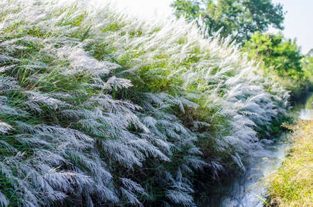 Wild grasses which have white color flower