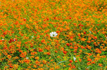 colore: An image of white flower in orange colore flower field Stock Photo