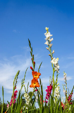 An image of colorful the Gladiolus flower photo