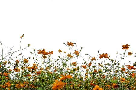 Une image isolée de fleur sauvage de couleur orange sur fond blanc