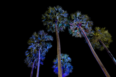 An iamge of sugar palm trees that shining with the light of LED lamps in the night. photo