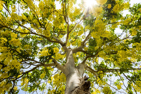 golden shower: An image of Golden shower tree which full with flowers
