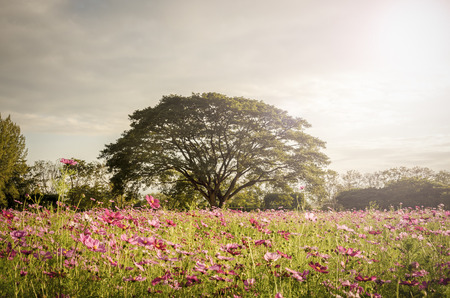 Big tree in pink color flower field