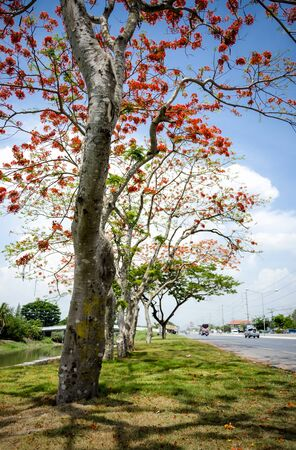 full filled: An image of beautiful tree which full filled with red flower beside a road