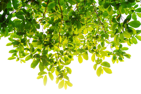 The branches and leaves are green on a white background.