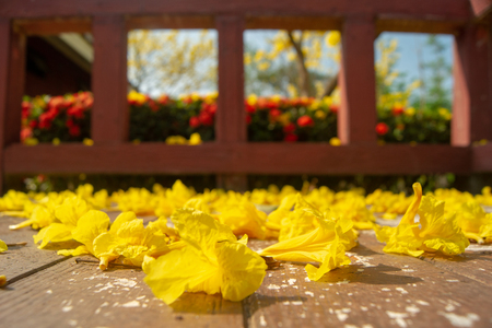 Golden flowers fall on the ground,Named the golden tree.