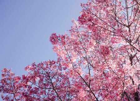 Full bloom Sakura basking in sunlight on blue clear sky Japan