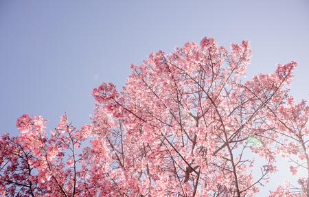 Full bloom Sakura cherry blossom in sunlight shoot from under the tree