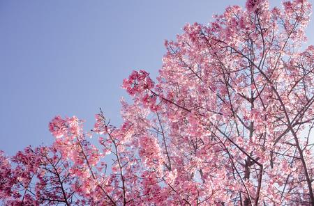 Full bloom Sakura in sunlight and clear blue sky Japan
