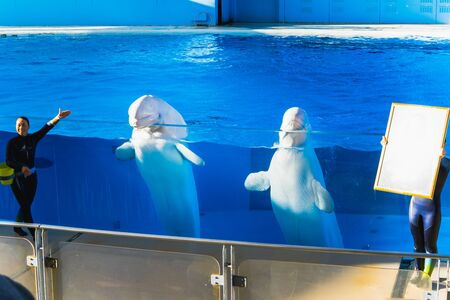 YOKOHAMA,JAPAN MARCH 13,2019 Two Beluga whales at Hakkeijima Sea Paradise Show stadium semi outdoor stage with a woman trainer introducing to the audiences Editorial