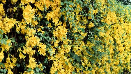 Catclaw Vine Yellow Flower Wall full bloom