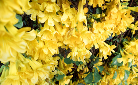 Close up of yellow flower Catclaw Vine full bloom,Cats Claw plant Фото со стока