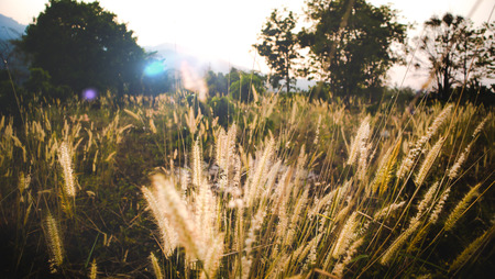 Medow Grass and tree in the sunrise with mountain background and sun flare