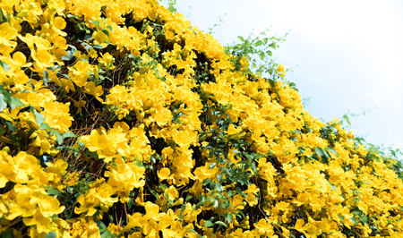 Look-up shot of beautiful yellow flowers Catclaw Vine plants with sky background in summer