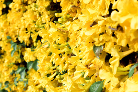 Close up of beautiful yellow flower Cats claw full bloom in summer colorful Cats Claw Creeper plants