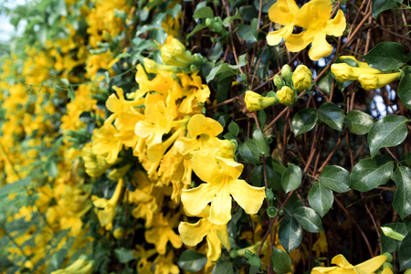 Close up of yellow flower Cat's Claw Creeper plants full bloom in summer