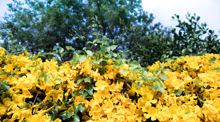 Look-up shot of beautiful yellow flowers Cats Claw Creeper plants with big tree background and sky Фото со стока