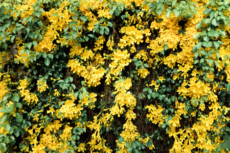 Cats Claw Creeper plants beautiful yellow flowers